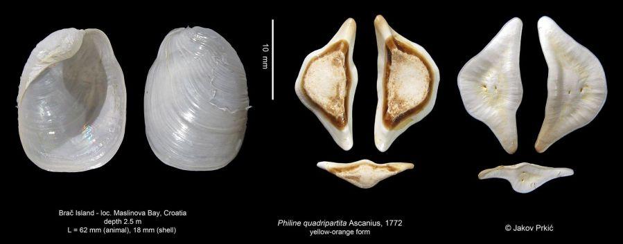 Philine quadripartita shell & gizzard plates by Jakov Prkić