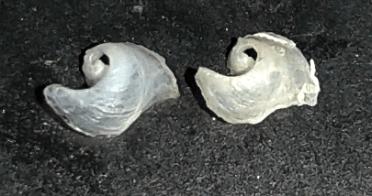 Philinopsis miqueli (shells) by Alberto Piras (Italy)