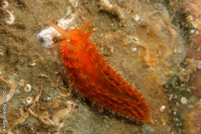 Aeolidiella sanguinea (Atl.E)