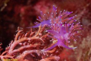 Flabellina affinis by Miquel Pontes