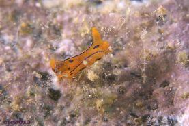 Polycera elegans (Atlantic)