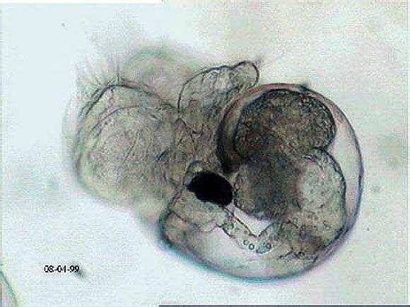 Pleurobranchaea meckeli