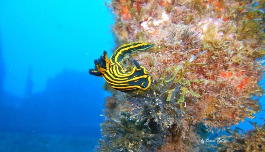 Tambja ceutae @ Ibiza by Cesare Fattori - Mare Nostrum Wildlife