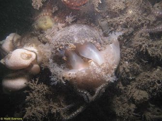 Tritonia hombergii @ Inner Forth estuary, Scotland 20150628 by Matt Barnes (NE Atlantic Nudibranchs)