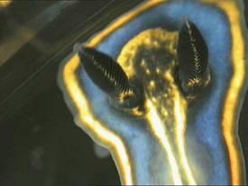 Felimare bilineata, vista superior rinòfor