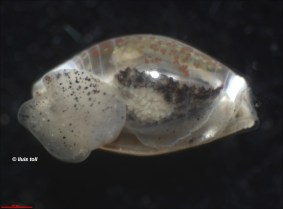 Weinkauffia turgidula (ventral view) by Lluís Toll