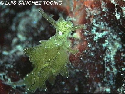 Caliphylla mediterranea by Luis Sánchez-Tocino