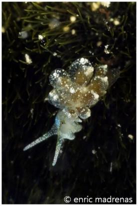 Ercolania viridis by Enric Madrenas