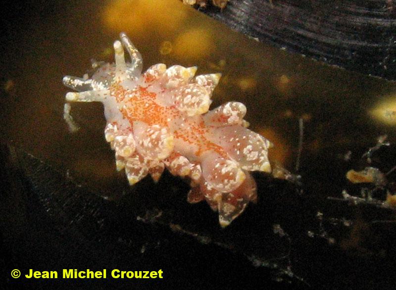 Eubranchus pallidus moullieres 09052008 by Jean Michel Crouzet