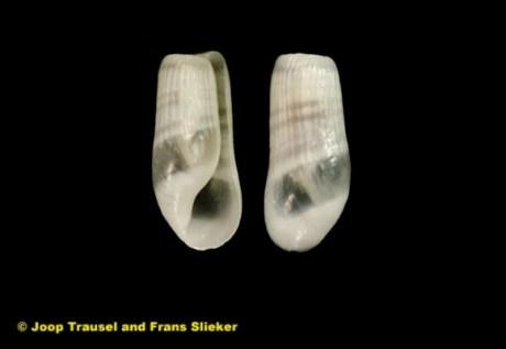 Retusa truncatula 3mm @ Ibiza by Joop Trausel & Frans Slieker (Natural History Museum Rotterdam)
