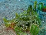 Syphonota geografica by Arya Widhi (Indonesia)