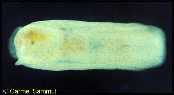 Philine catena 2mm @ Salini, Malta 1m depth 6-09-1993 by Carmel Sammut