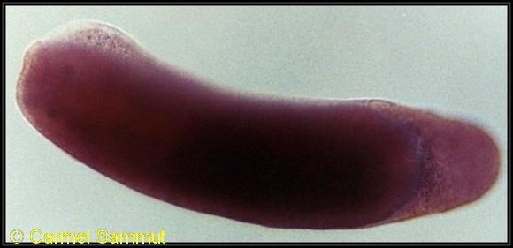 Runcina ornata 2-3mm @ Qalet Marku, Malta 1m depth 22-03-1993 by Carmel Sammut