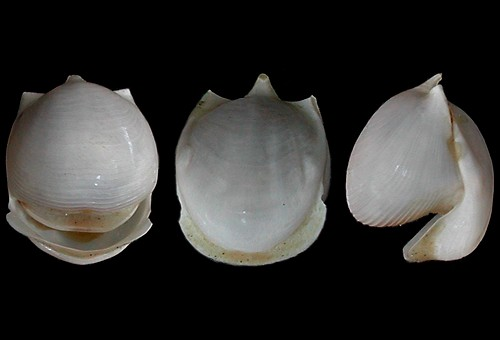 Cavolinia-globulosa 5mm @Kaula Rock, Hawaii, Vanderbilt Pac.Equatorial Exp. 1951 by Cory Pittman - CAS collection (www.seaslugsofhawaii.com)