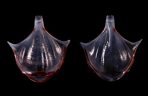 Diacria-trispinosa 7.5mm @French Frigate Shoals, 20061017 by Cory Pittman (www.seaslugsofhawaii.com)