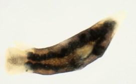 Limapontia capitata @ Dorset (England) 6-04-2012 (Discover Life) by Malcolm Storey