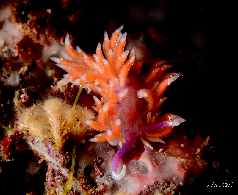 Piseinotecus soussi by Fabio Vitale