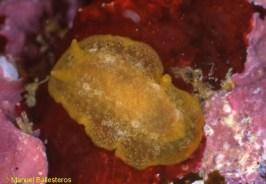 Doriopsilla areolata by Manuel Ballesteros