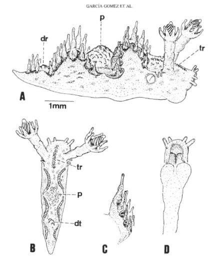Lomanotus barlettai reproduced from García Gómez et al. 1990