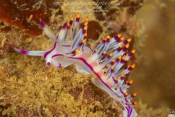 Flabellina rubrolineata (Beirut, Lebanon) by Sonja Ooms