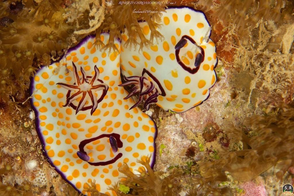 Goniobranchus annulatus (Beirut, Lebanon) by Sonja Ooms