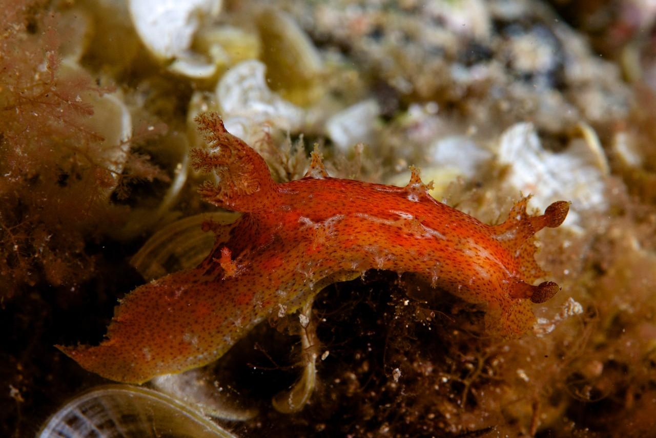 Plocamopherus maderae by Bernard Picton