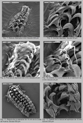 Radula de Polycera aurantiomarginata by Luis Sánchez-Tocino