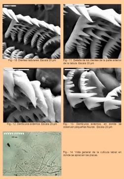 Radula de Trapania maculata by Luis Sánchez-Tocino