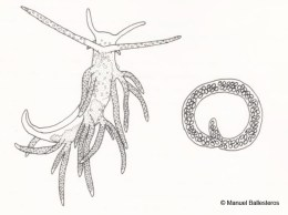 Piseinotecus sphaeriferus with spawn @ Cala Canyelles (s-Posidonia) by Manuel Ballesteros