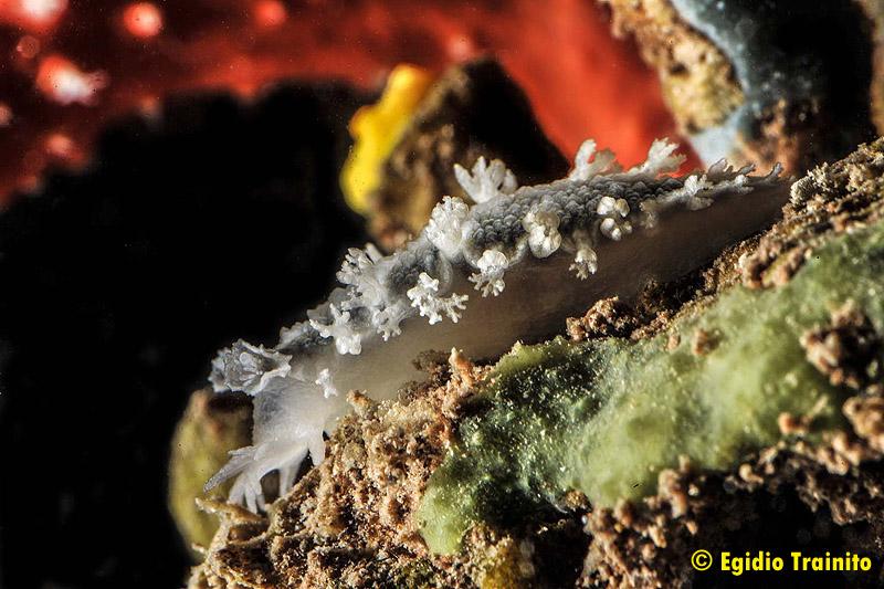 Tritonia coralliumrubri by Egidio Trainito