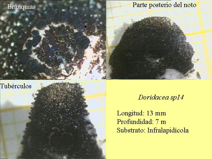 Knoutsodonta pictoni (gill detail) @ Granada by Luis Sánchez Tocino
