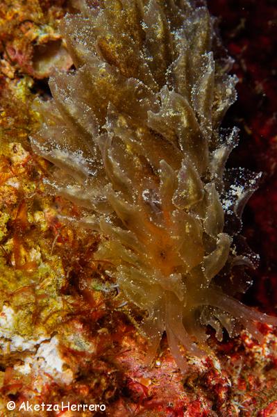 Caliphylla viridis @ Islas Canarias by Aketza Herrero
