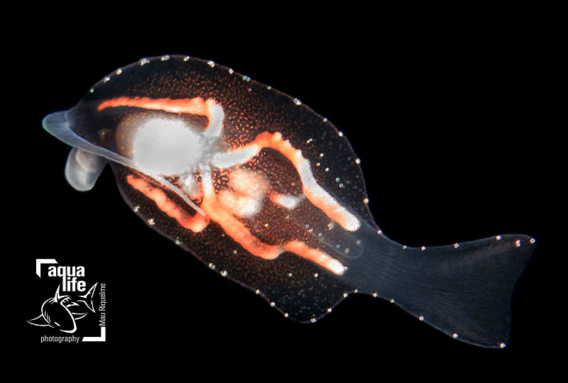 Phylliroe lichtensteinii, pelagic nudibranch @ Blackwater, Roatan, Honduras in (Nudibase, Facebook) by Mauricio Riquelme (Aqualife Photography)