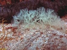 Melibe viridis spawn @ Punta Japlenicka-island Ugljan, Croatia, length 45cm, depth 6m by Đani Iglic