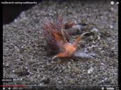 Nudibranch eats nudibranchs