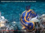 Opistobranquis, Arlequins del Mar