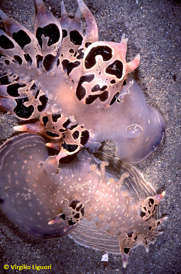 Tethys fimbria mating @ Capo Somigliano, Italy by Virgilio Liguori