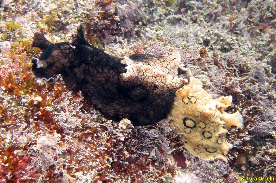 Aplysia dactylomela mating @ Sicily, Italy by Lara Orselli