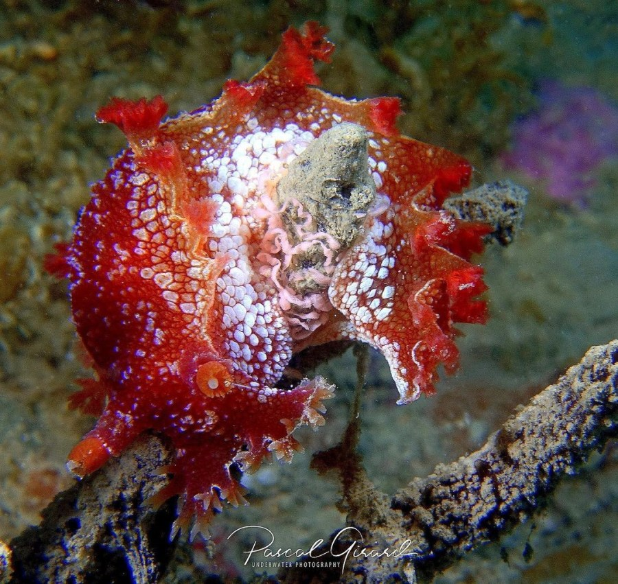 Marionia blainvillea with egg-spawn @ France by Pascal Girard