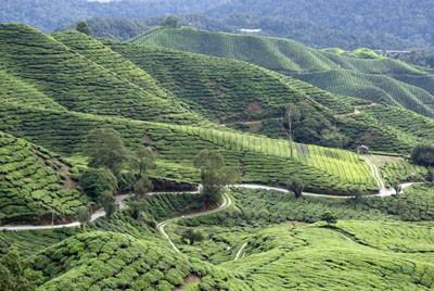 Teeplantagen in Malaysia
