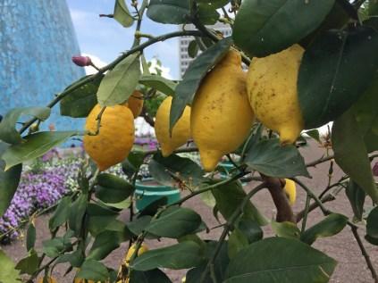 Im Land wo die Zitronen blühen