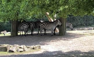 Zebras im Schatten