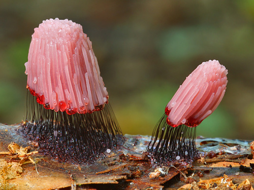 Delicate looking Stemonitis Fusca which is slime mold found on dead wood.
