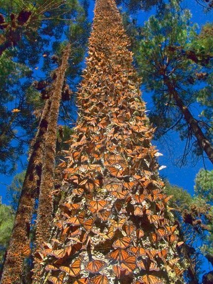 Monarch Butterflies on trees of south central Mexico.
