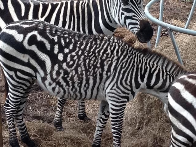 Not one to blend in with the crowd, this zebra has spots instead of stripes.