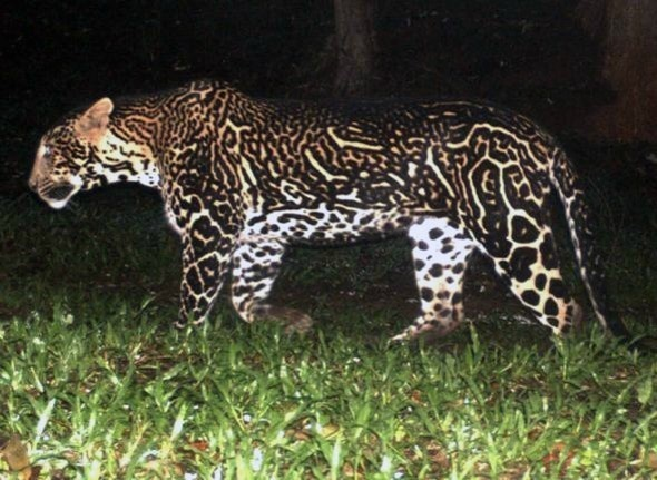 This leopard has a particularly pronounced coat pattern.
