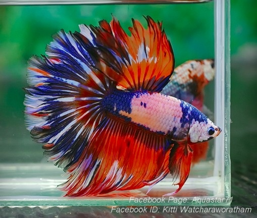 Betta fish can have intense, vibrant colors -- along with intense personalities.