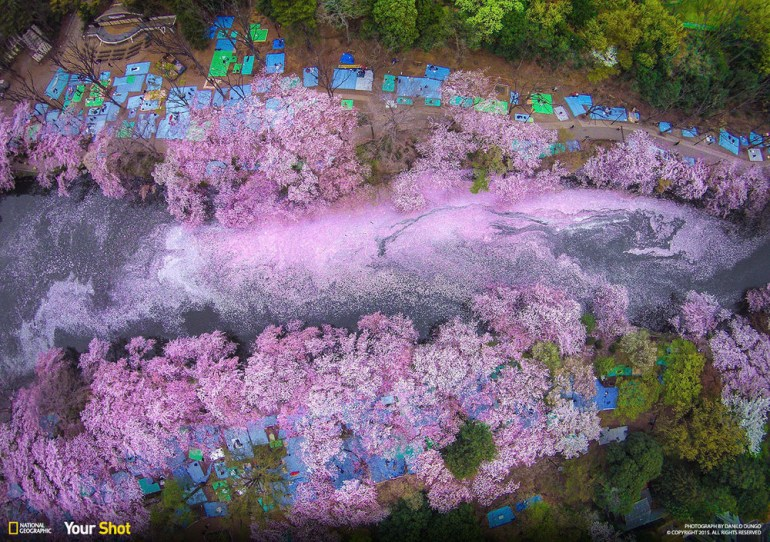 This is Inokashira Park, where some Japanese celebrate the arrival of the blossoms.