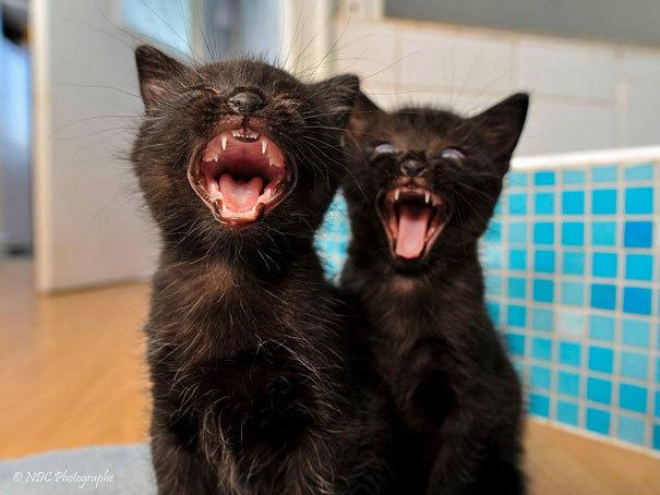 Are these black kitties singing or screaming?