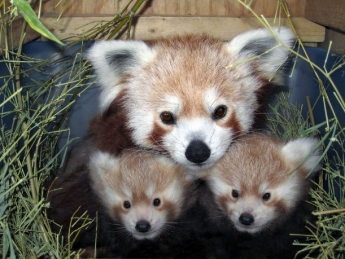 Red Panda cubs Carson and Willia with their mother Sophia at the Lincoln Children's Zoo, Nebraska.